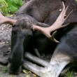 Stock Video: Moose sitting in grass 1