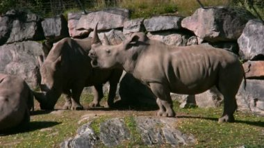 White Rhinoceros 2 — Stock video