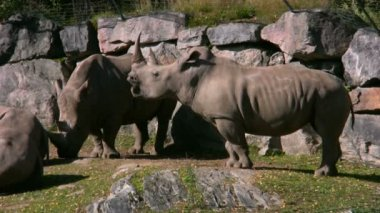 White Rhinoceros 2 — Video Stock