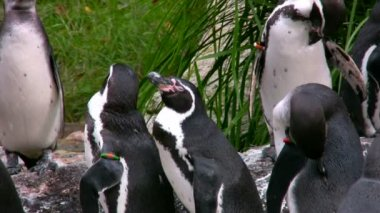 Humboldt Penguins 1 — Stok video