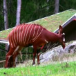 Bongo Antelope 1 — Stock Video