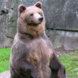 Stock Video: Brown Bear 2