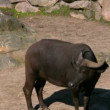 Stock Video: African Buffalo 1
