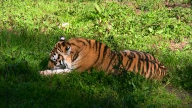 Siberian tiger eating meat 5 — Vídeo Stock