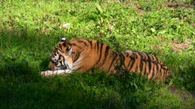 Siberian tiger eating meat 5 — Stok video