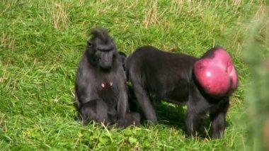 Черная обезьяна 1 — Стоковое видео