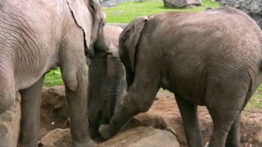 Elephant And Calf 3 — Stok video