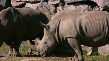 Rinoceronte-branco 3 — Vídeo stock