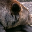 Stock Video: Brown Bear 3
