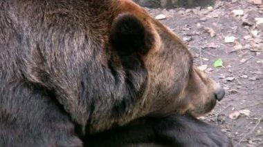 Brown Bear 3 — Stock Video
