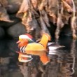 Mandarin Duck 02 — Stock Video