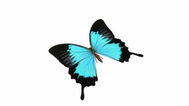 Looping Butterfly Animation 2 — Stock Video