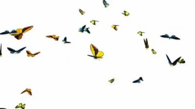 Looping Butterflies Fast Swarm Animation 1 — Stok video