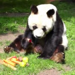 Panda In Captivity — Stock Video