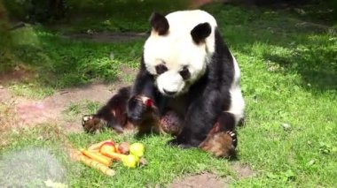 Panda In Captivity — Video Stock