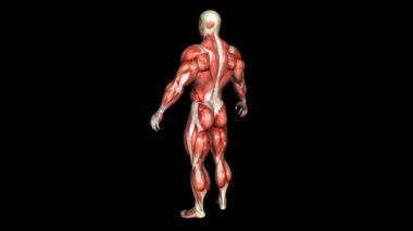 The Human Body Muscle Animation. Loop. Alpha — Stock Video