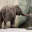 Zoo Elephant — Stock Photo