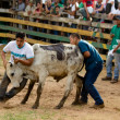 Rodeo festival and cattle wrestling — Stock Photo