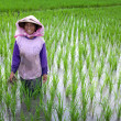 JOGJAKARTA INDONESIA 15th MAY. Old farmer tending to her young paddy seedling in the paddy field, 15th May 2010 Jogjakarta, Indonesia. - Stock Photo