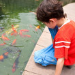 Young boy feeding Japanese koi fish in tropical pond — Stock Photo