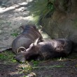 Wild boars (Sus scrofa) in captivity resting in the shade - Stock Photo