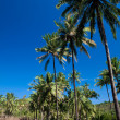 Coconut grove on a tropical island - Stock Photo