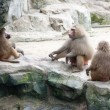 Family of baboon in a zoo enclosure taking a rest from the heat - Stock Photo