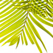 Palm leaves swaying in the breeze on white background — Stock Photo #12038469