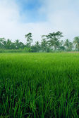 Lush green paddy field in the plains of Jogjakarta, Indonesia. — Stock Photo