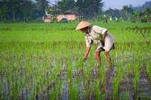 Jogjakarta индонезии 15 мая. старый фермер, стремясь к его молодой пэдди рассада в рисовом поле, 15 может 2010 jogjakarta, индонезия. — Стоковое фото