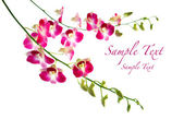 Beautiful oriental magenta orchids against white background — Stock Photo