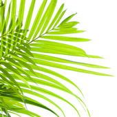 Palm leaves swaying in the breeze on white background — Stock Photo