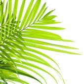 Beyaz zemin üzerine esintiyle sallanan palmiye yaprakları — Stok fotoğraf