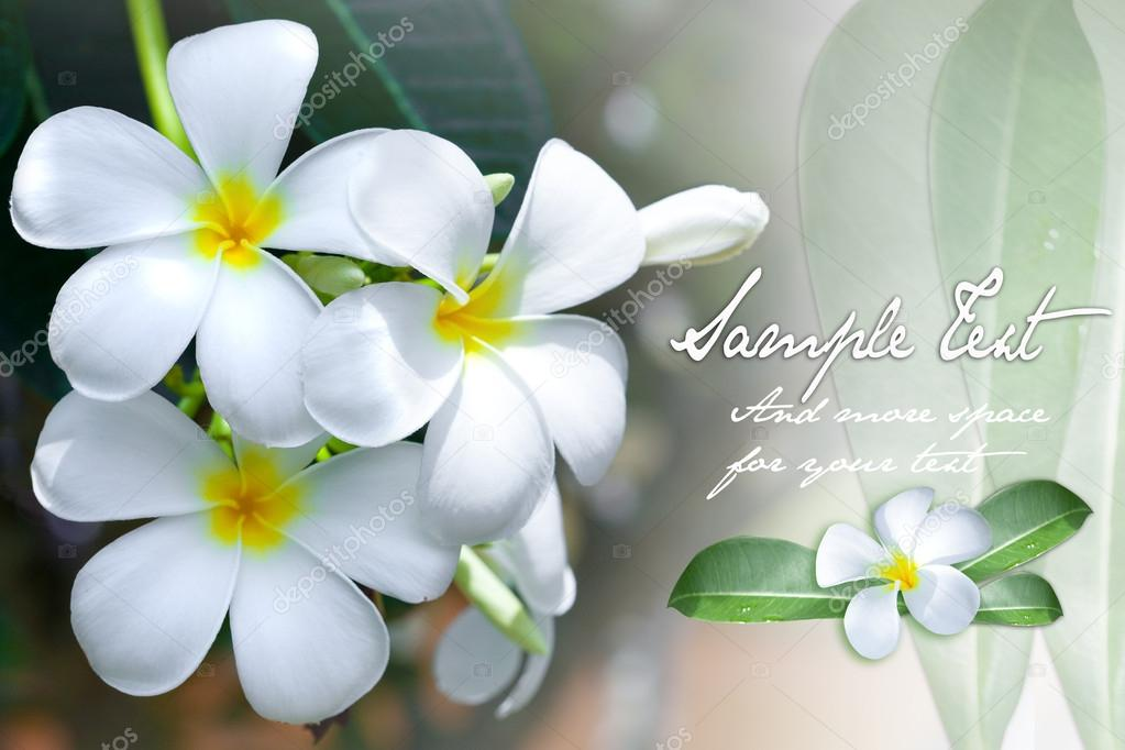 Background of the sweet smelling frangipani flower with space for text — Stock Photo #12036969