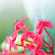 Beautiful red ixora flower against green leaves with space for text — Stock Photo #17978423