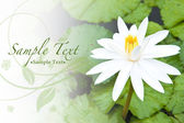 Background of beautiful white water lily and bright green leaves — Stock Photo