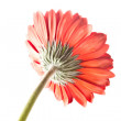 Back view of singular red gerbera on white — Stock Photo