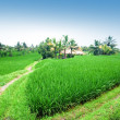 Rice paddy terrace in daylight. — Stok fotoğraf