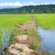 Paddy field in lowland of Sabah — Stock Photo
