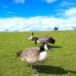 Flock of geese feeding on grassy hills - Stock Photo