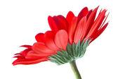 Single red gerbera — Stock Photo