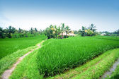 Rice paddy terrace in daylight. — Stock Photo