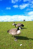 Стадо гусей, питаясь травой холмы — Стоковое фото