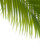 Palm fronds against white background. — Stock Photo
