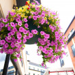 Pretty hanging flower basket filled with trailing azaleas  — Stock Photo
