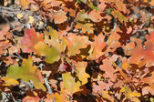 Gambel Oak leaves Autumn Nature Background — Stock Photo