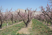 Orchard in Spring — Stock Photo