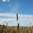 Royalty-Free Stock Photo: Rye ears over a field