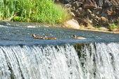 Eenden zweven boven waterval — Stockfoto