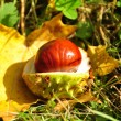 Chestnut on a grass - Stock Photo